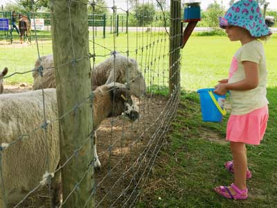 child feeding sheep at petting farm