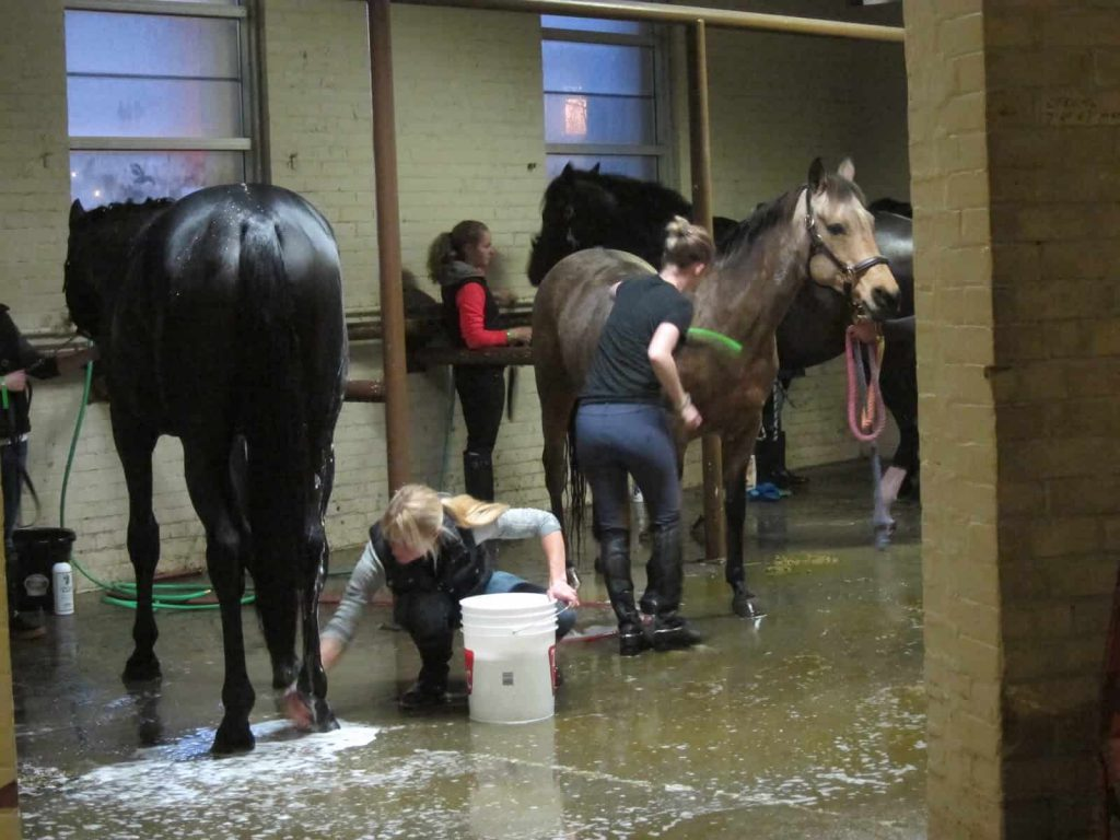 Primping for the big event - behind the scenes The Royal Agricultural Winter Fair