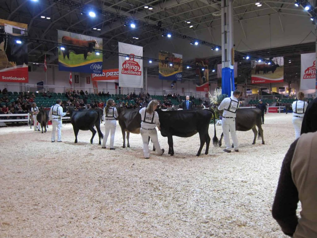 Judging at the cattle competition The Royal Agricultural Winter Fair