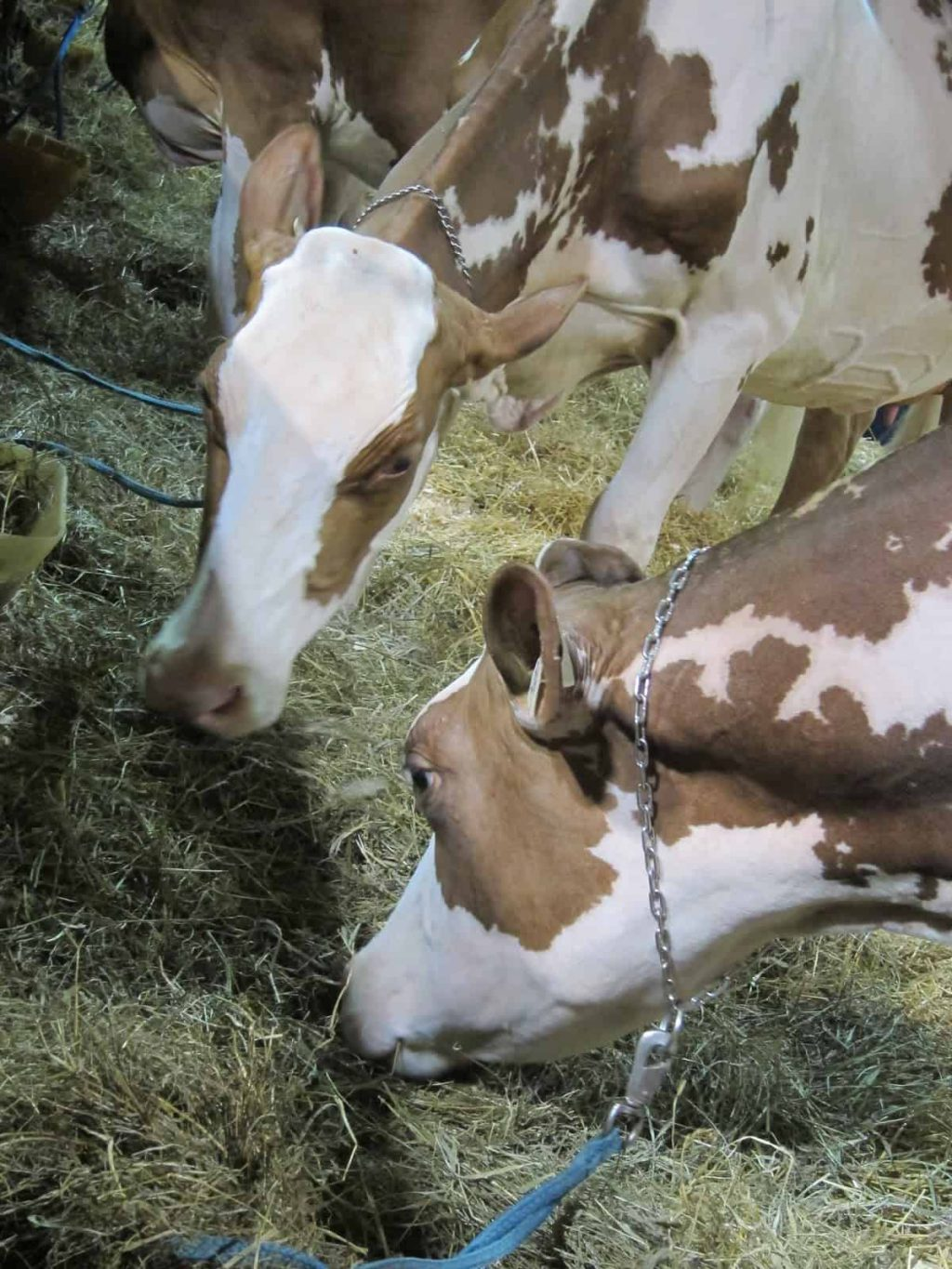 close up photo of cows at The Royal Agricultural Winter fair.