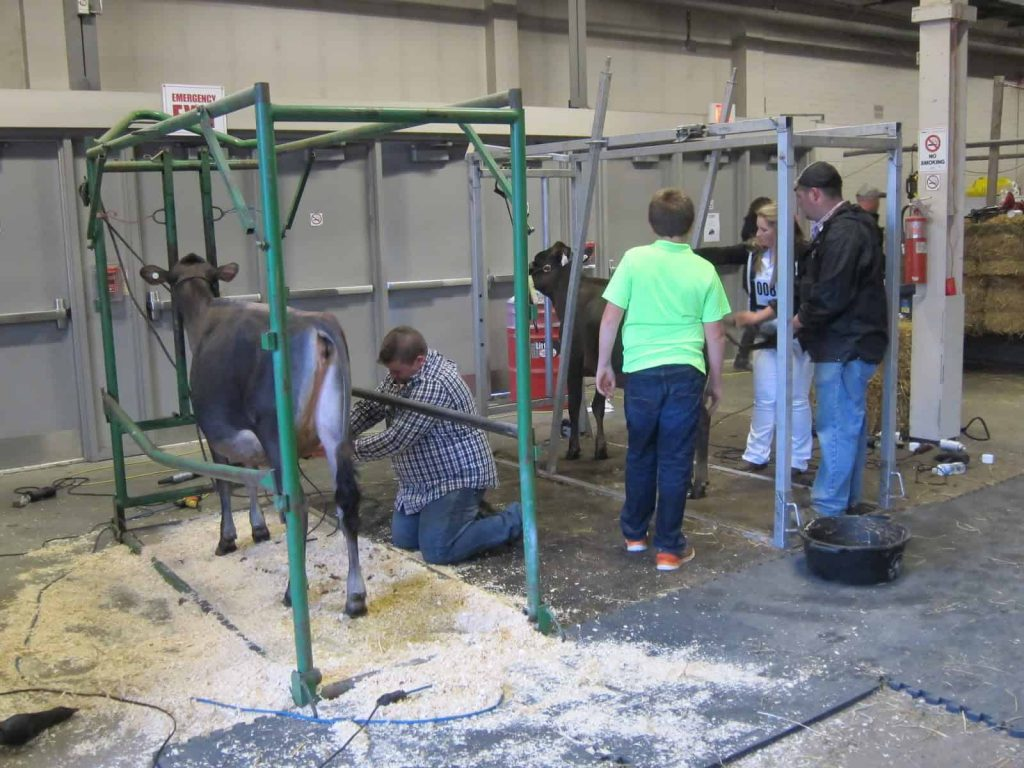 Behind the scenes - the meticulous washing, brushing and shining up that goes into making a winner at the Royal Agricultural Winter Fair