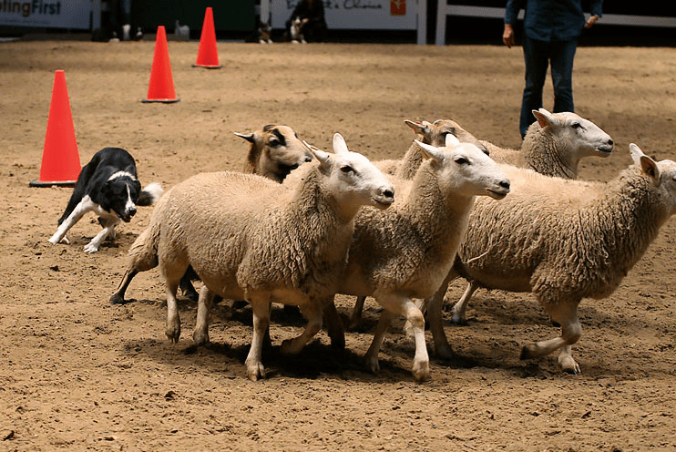 Real live sheep herding at The Royal Agricultural Winter Fair