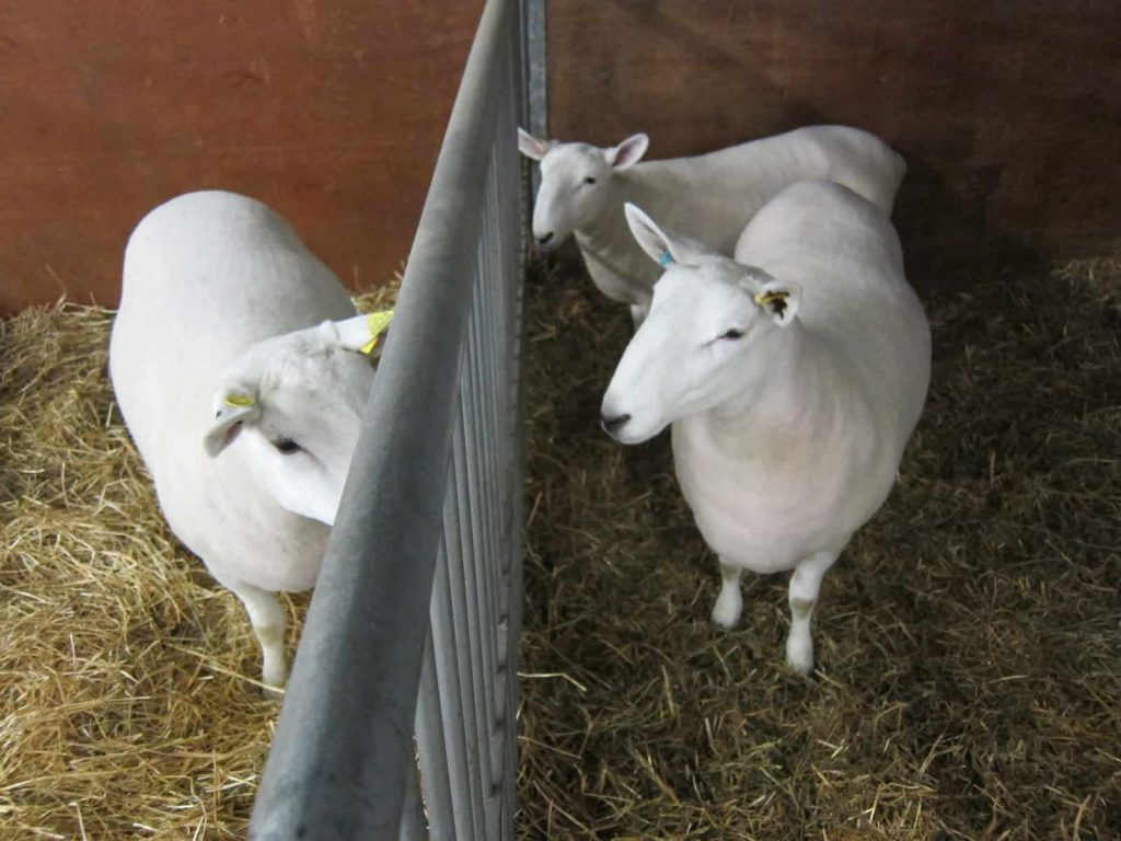 fluffy white sheep the royal agricultural winter fair.